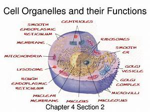 Functions Of Cell Organelles