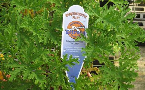 do citronella plants really repel mosquitoes mosquito plant louisiana nursery