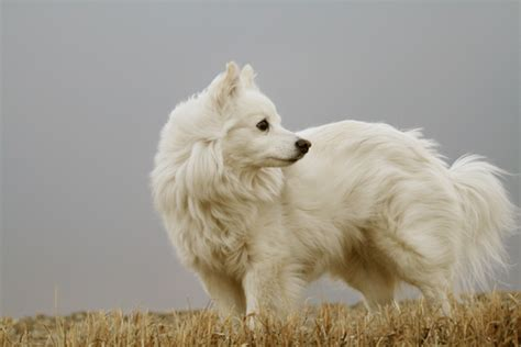American Eskimo Shedding by The 10 Breeds That Shed The Most Iheartdogs