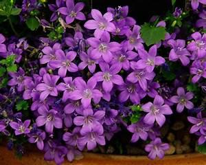 GardensOnline: Campanula portenschlagiana syn. Campanula ...