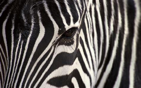 150 Zebra HD Wallpapers