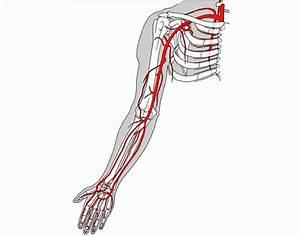 Arteries - Arm