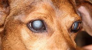 cataracts in dogs symptoms causes treatment and