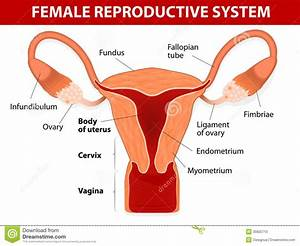 Female Reproductive System Diagram Front View - Anatomy Organ