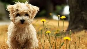 West Highland White Terrier puppy wallpaper - Animal ...