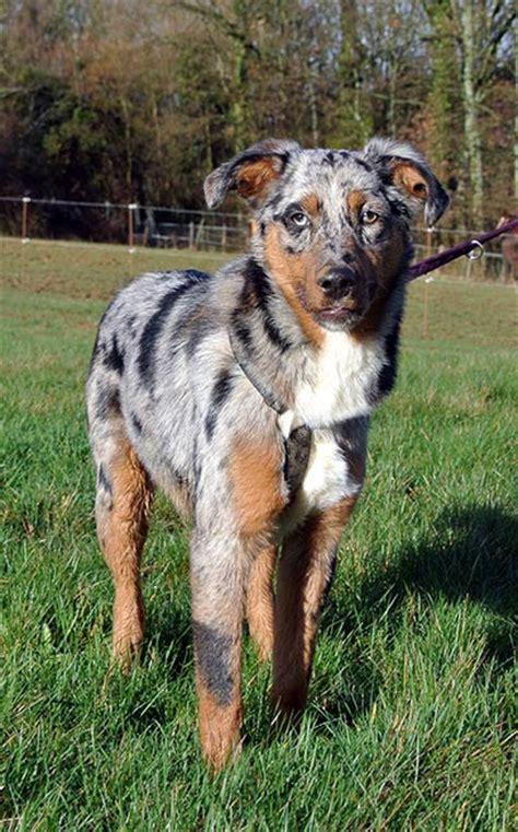 sweety geb  beauceron australian shepherd mix