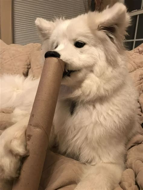 883 Best Images About Samoyed My Love On Pinterest