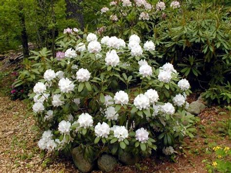 rhododendron planting tips rhododendron in gardening tips for planting care fertilization cutting interior design