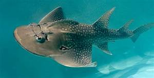 Take a Look at this Bizarre Shark Ray It's a Shark Ray