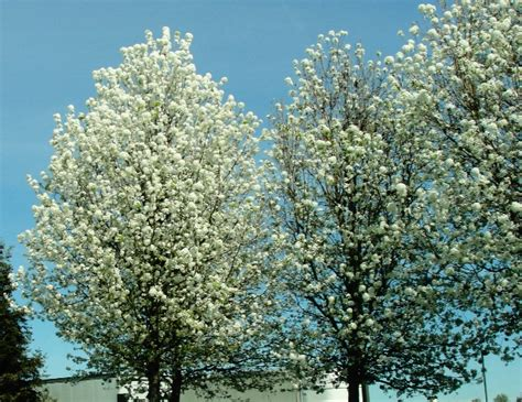 tree white blooms early first day of spring braman s wanderings