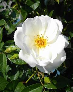White Rugosa Rose Photograph by Amy McClosky