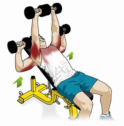 Incline Press Dumbbell Bench Without Chest Exercise