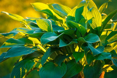 Funkie In Die Sonne Pflanzen » Keine Gute Idee?