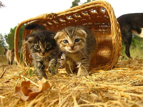 scottish fold cat price how much are scottish fold kittens scottish fold 2015