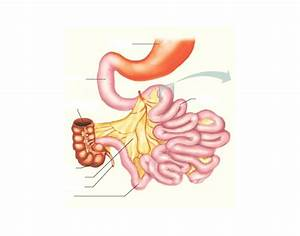 Alimentary Canal And Accessory Organs Part 2