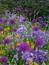 Allium 'Holland Sensation' , Erysimum, Campanula (Purple purple and orange flower garden