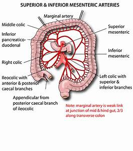 Instant Anatomy Abdomen Vessels Arteries Superior ...