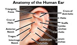ear candy earrings but true ear anatomy and piercing names bodycandy