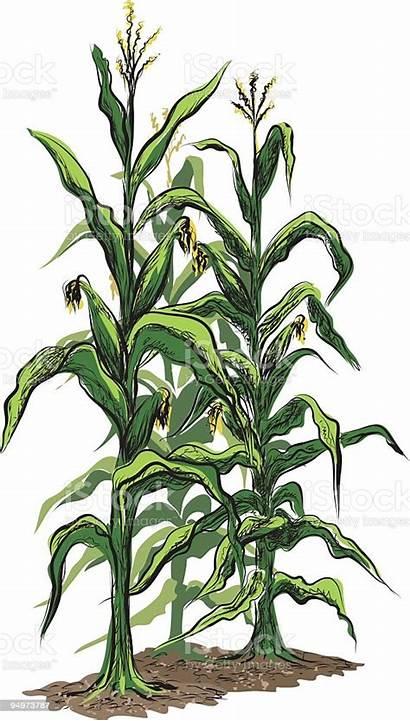 Corn Stalks Vector Illustration Field Background Tassels