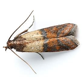 Cycle Of A Pantry Moth Facts About Pantry Moths Terro 174 Learning Center