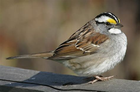 white throated sparrow attracting birds birds and blooms
