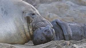 Elephant Seal Mother and Pup | Sean Crane Photography
