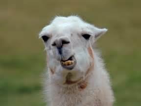 Llama Cute Desktop Backgrounds