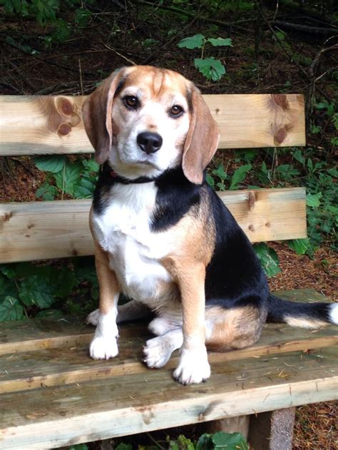 Bench Beagle by Beagle On Bench Beagles Beagles Beagles