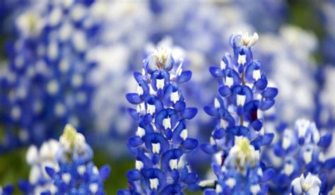 bluebonnet wallpapers images  pictures backgrounds