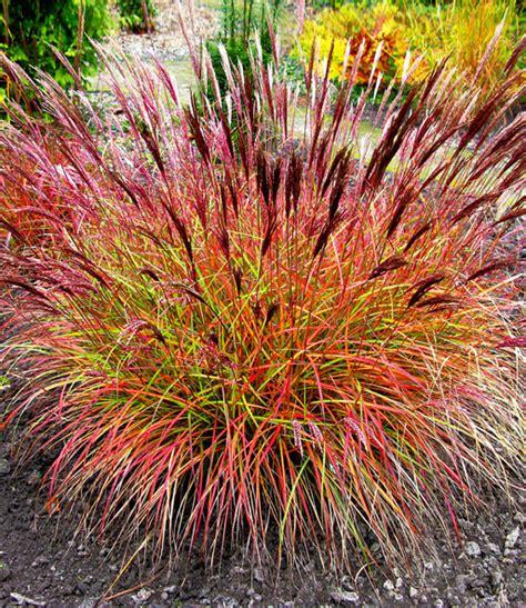 Rotes Ziergras Winterhart by Chinaschilf Chief 1a Pflanzen Kaufen Baldur Garten