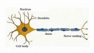 Draw A Labelled Diagram Of A Neuron