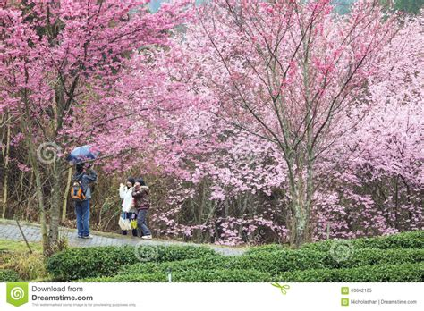 Wuling Backgrounds by Wuling Farm Cherry Blossom Season Nantou Taiwan