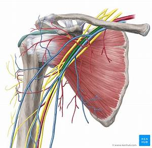 Upper Limb  Arteries  Veins And Nerves