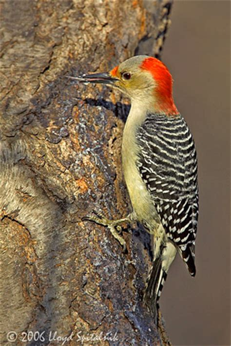 gc23h5w nkm red bellied woodpecker traditional cache in