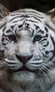 White Tiger   Sandra Wildeman   Flickr