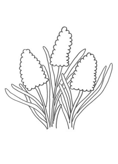Kleurplaat Narcis by Hyacint Kleurplaat