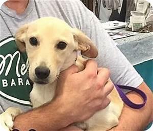 Nelly | Adopted Dog | Phoenix, AZ | Labrador Retriever ...
