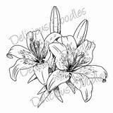 Stargazer Lilies Lillies Lilien Teri Calla Crini Dada sketch template