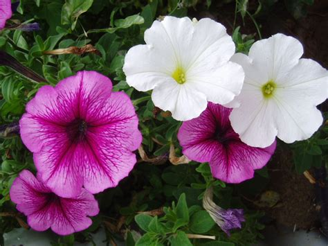 images petunias how to grow petunias how to grow stuff