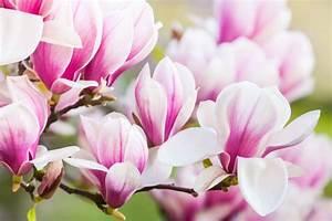 Fleur De Magnolia : magnolia signification des fleurs ~ Melissatoandfro.com Idées de Décoration