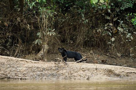 Black Jaguar Habitat by Black Panther Http Www Peteoxford
