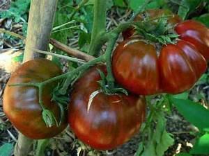 Tomaten Wann Pflanzen : tomaten ~ Frokenaadalensverden.com Haus und Dekorationen