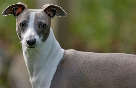 do italian greyhounds shed the best non shedding and hypoallergenic dogs