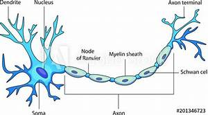 Schematic Vector Diagram Of A Neuron Or Nerve Cell