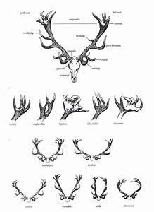 Hungarian Antler Diagrams