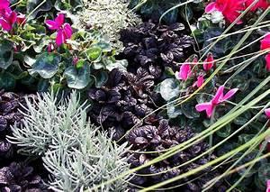 Balkonbepflanzung Im Herbst : ajuga reptans elmblut kriechender g nzel schwarzroter blattschmuck im herbst balkonbepflanzung ~ Markanthonyermac.com Haus und Dekorationen