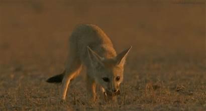 Fennec Fox Animals Nature Gifs Ode Wild