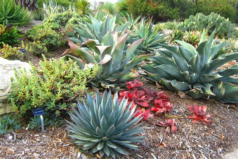 agave garden agaves and aloes at the south coast botanic garden miss smarty plants