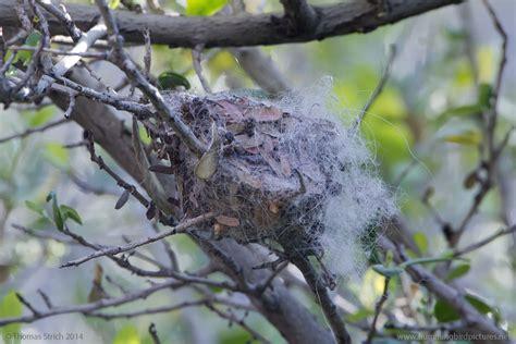hummingbird nest nesting hummingbird