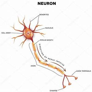 Labeled Diagram Of The Neuron  U2014 Stock Vector  U00a9 Megija